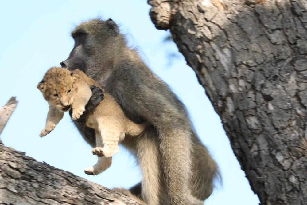 Babuíno e filhote de leão 'imitam' cena de 'Rei Leão' na África do Sul; VEJA VÍDEO
