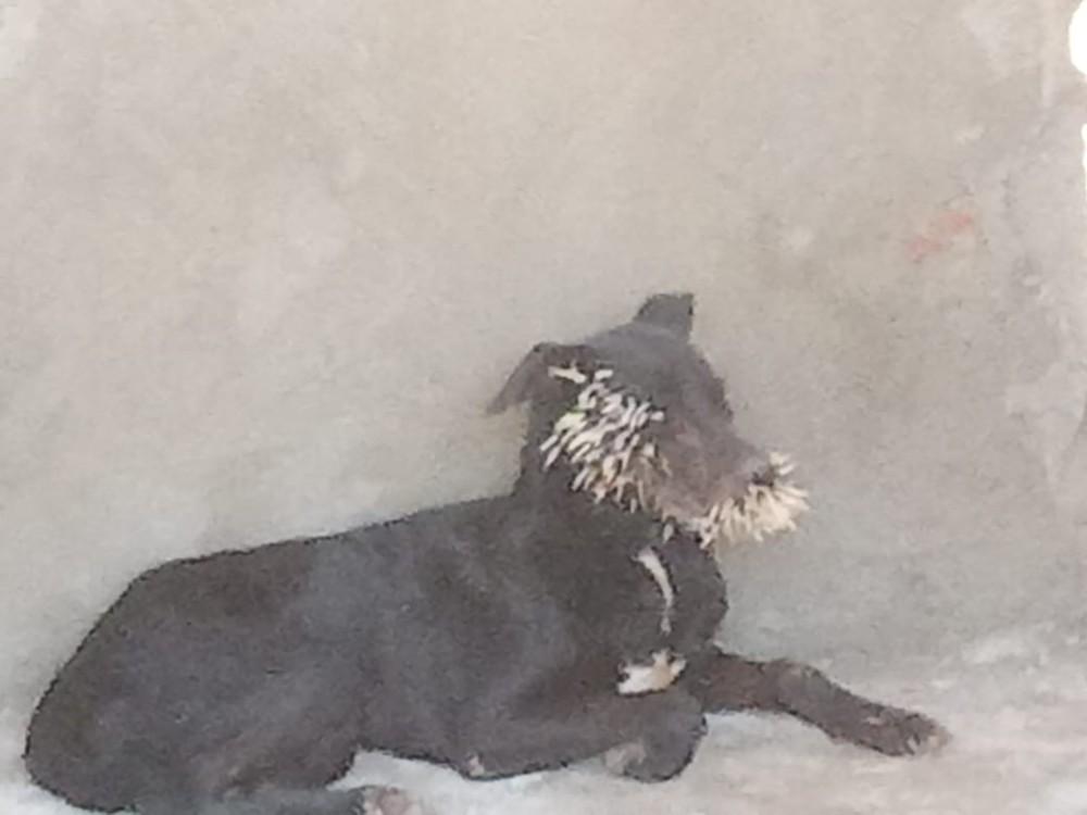 Bombeiros socorrem quatro cães feridos ao atacar ouriço cacheiro